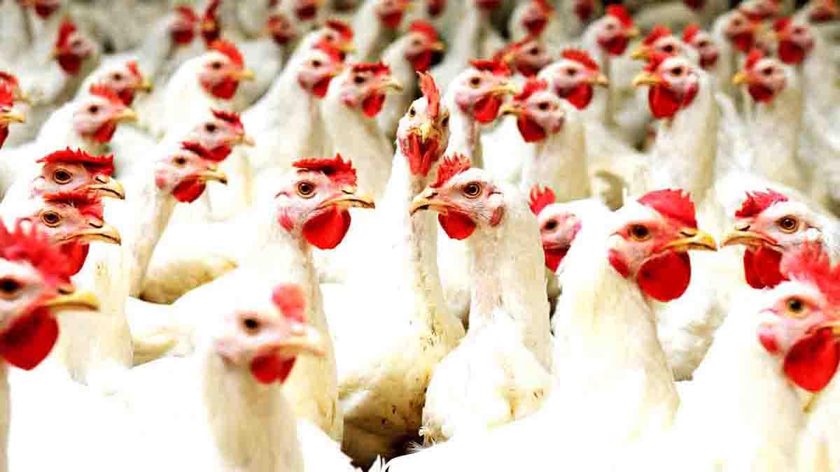 Perito en Aves de Corral: razas, producción, enfermedades