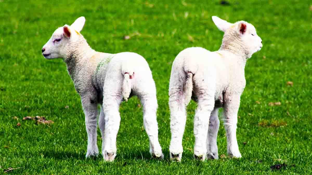 Clonación de Animales - Manipulación Genética