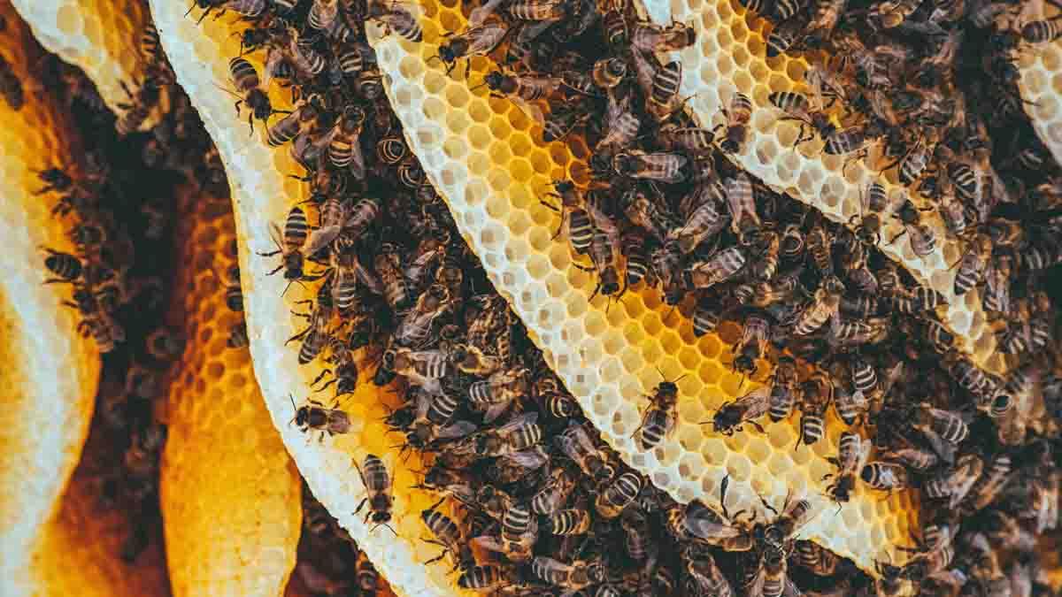 Perito en Apicultura y producción de miel