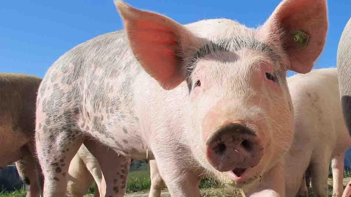 Perito en Cerdos. Características, valoración y venta