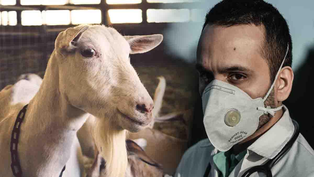 Inspección veterinaria de mataderos: la figura del perito
